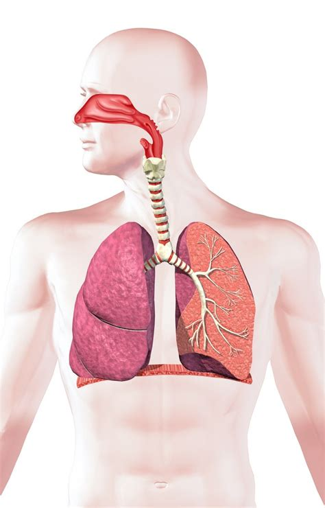 images of the respiratory system respiratory system facts function and diseases