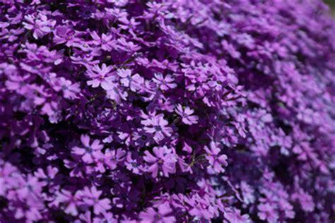 fiori viola immagini cerca immagini quot fiori viola quot
