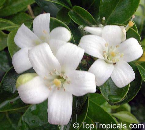 saguita tattoo 28 26 best asian flower 38 best images on