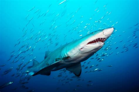 Shark In The scientists are learning more about the social of