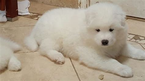 samoyed puppies for sale ny 25 best ideas about samoyed puppies for sale on miniature husky for sale