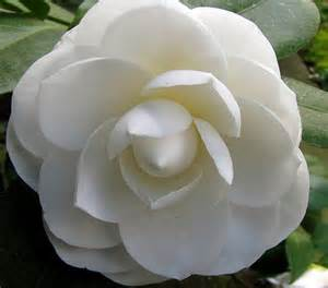 1000 images about floral camellia on pinterest