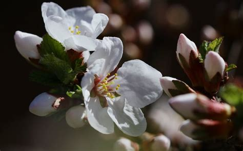 sfondi fiori di ciliegio scarica sfondi natura primavera ramo fiori di ciliegio