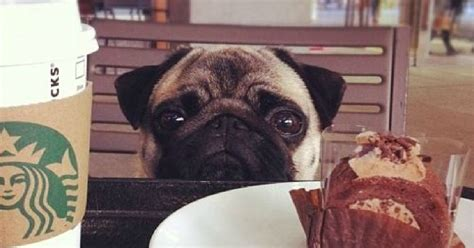 pug owners personality 24 things only pug owners would understand
