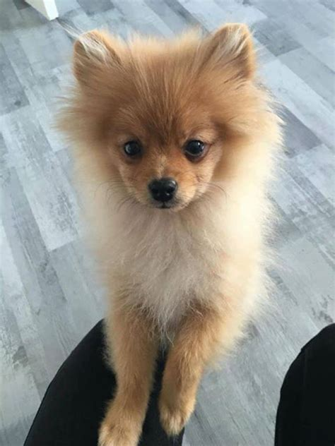 american pomeranian 1000 images about pomimo dogs a mix of american eskimo and pomeranian on