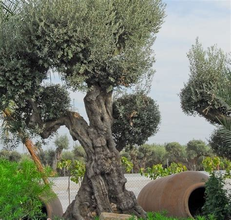how much does olive trees cost egzotyczny ogr 243 d