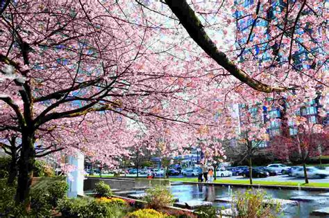 wallpaper daun sakura wallpaper pemandangan bunga sakura kung wallpaper