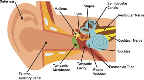 the ear diagram and functions function of the inner ear human anatomy system