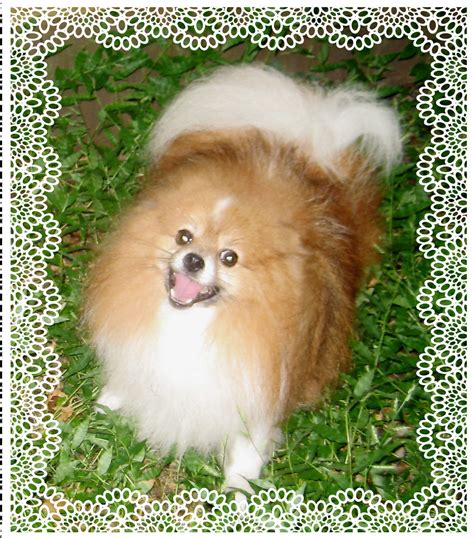 pomeranian panda puppies for sale panda puppies for sale breeds picture