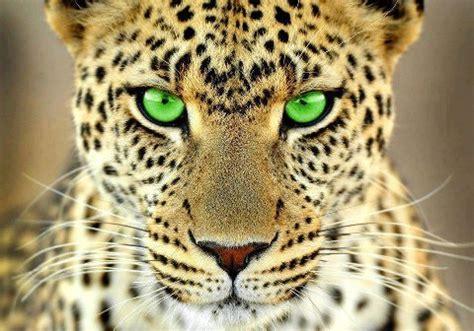imagenes del jaguar animal mexico ocelotl jaguar imagen toxicosm en taringa