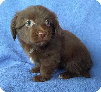 havanese chihuahua mix poof adopted puppy lawrenceville ga havanese