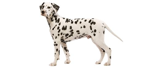 why are dalmatians dogs the dalmatian from firehouse to family pet