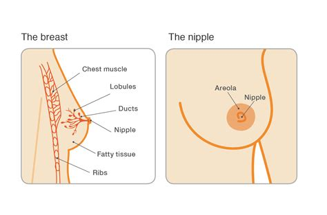 breast milk ducts diagram benign breast conditions intraductal papilloma