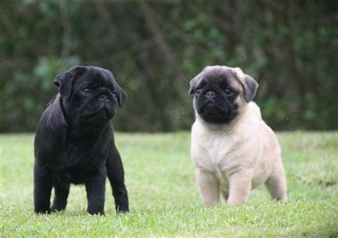 black and fawn pug pics for gt fawn pugs puppies
