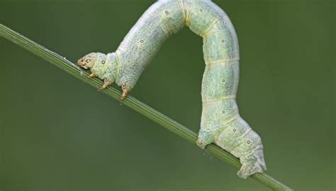 the inchworm inchworm cycle sciencing