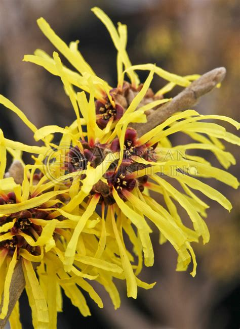 witch hazel usp specification american distilling