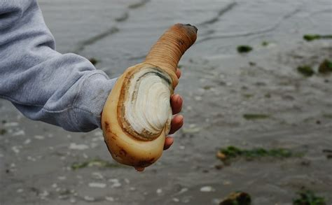 geoduck images how do you farm a clam that can grow 3 and live