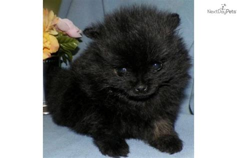 pomeranians for sale in syracuse ny pomeranian for sale for 1 500 near syracuse new york 4dfb741d b441