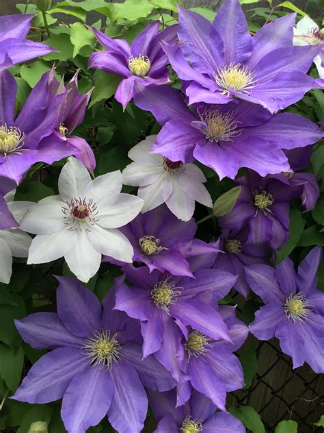 Pflege Clematis how to care for clematis goodstuffathome