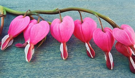 Bleeding Heart Flower Meaning Symbolism And Colors Bleeding Meaning