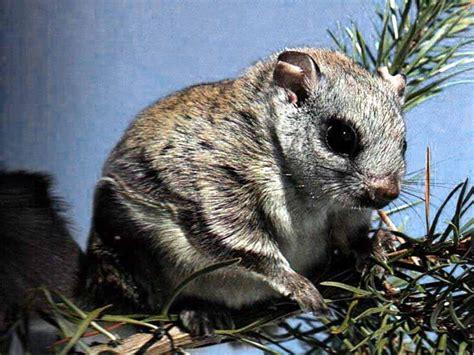 mammifero volante scoiattolo volante