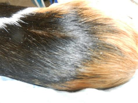 lice treatment for guinea pigs ftempo