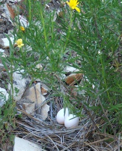 mourning dove nest gallery