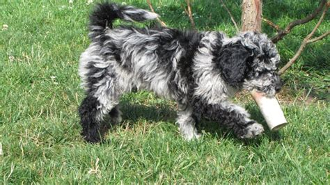 labradoodle puppies oregon blue merle labradoodle www pixshark images galleries with a bite