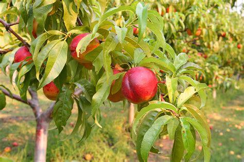 nectarine tree nectarine varieties harvest to table