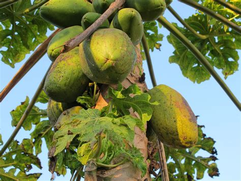 Click And Grow Amazon A Guide To The Fruit In Brazil