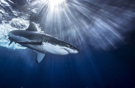 images of sharks shark wallpapers images photos pictures backgrounds