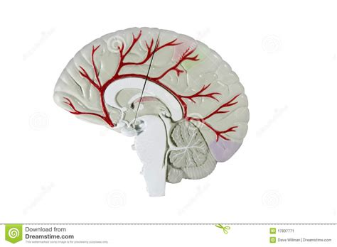 cross section human brain human brain cross section model stock image image 17837771