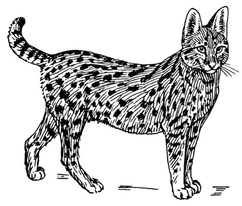 coloring pictures of wild cats serval cat serval cat coloring page spotted wild cat wild