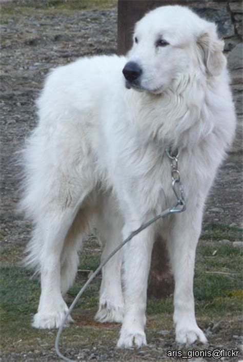 great pyrenees and golden retriever great white pyrenees golden retriever dogs in our photo