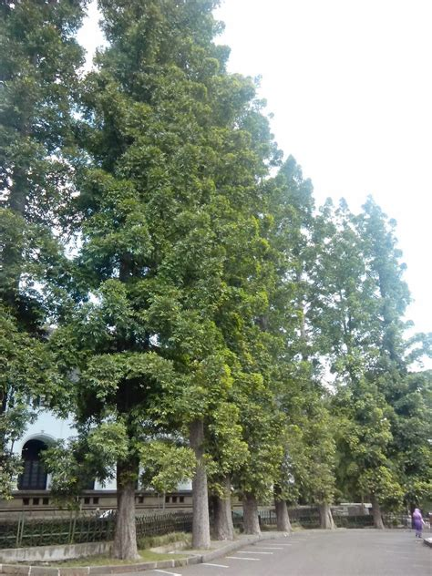 foto hape pohon damar