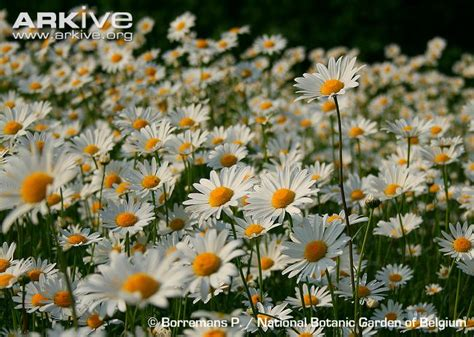 daisy facts oxeye daisy videos photos and facts leucanthemum