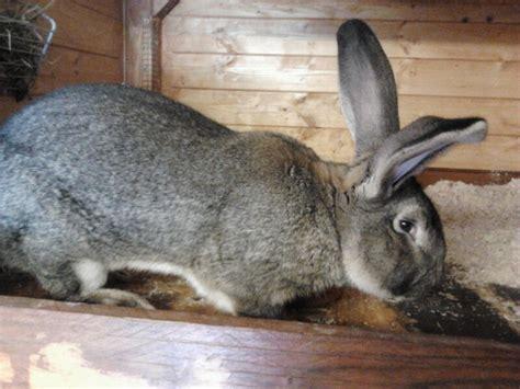 gabbie conigli giganti allevamento conigli giganti di massimo linetti