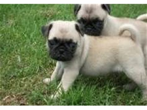 free puppies in ri pug puppies animals narragansett rhode island announcement 29634
