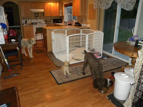 dog proofing house puppy proofing your house aussiedoodle and labradoodle puppies best labradoodle breeders in