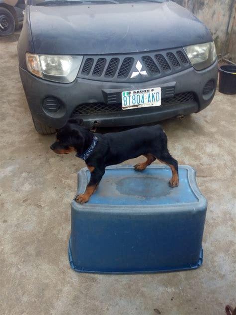 rottweiler 5 months weight 5 month rottweiler for sale photo