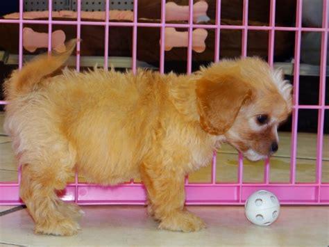 cavapoo puppies for sale in ga wonderful cavapoo puppies for sale in atlanta ga at atlanta columbus johns