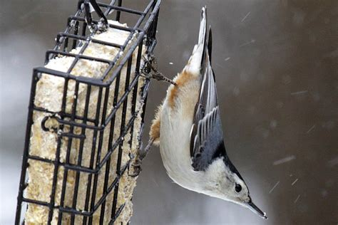 tips to attract nuthatches to your yard