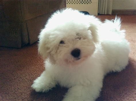 small dogs www imgkid com the image kid has it little white fluffy puppy little fluffy dogs www imgkid