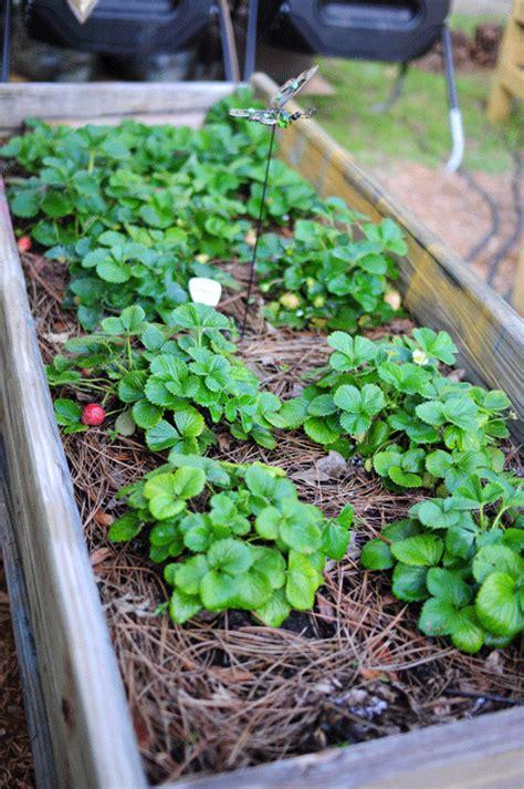 growing strawberries in raised beds 7 simple tips for growing strawberries page 6 of 8