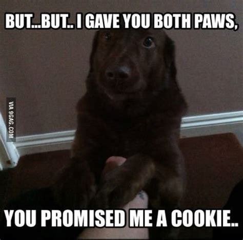 Labrador Meme - funny chocolate lab