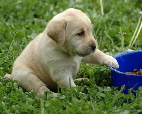 lab retriever puppies gallery puppy pictures