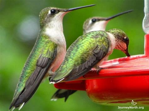 the ruby throated hummingbird s annual cycle overview