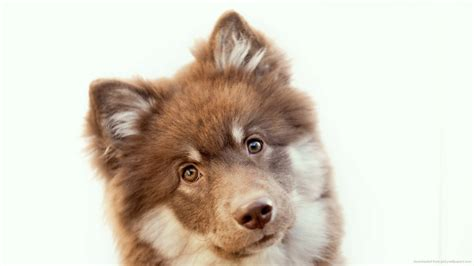 brown fluffy fluffy brown dogs