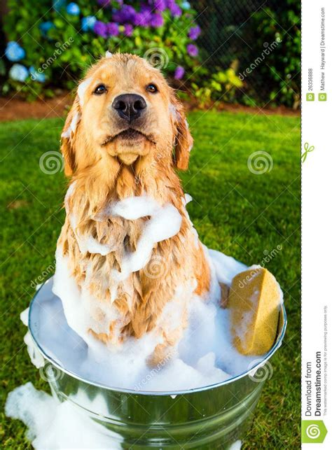how to give a golden retriever a bath photos stock photos images pictures word clipart breeds picture