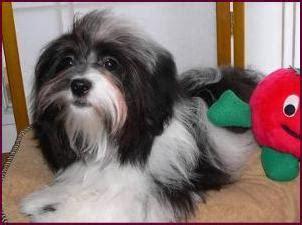 havanese sacramento havtahava havanese puppy adoption